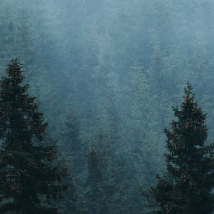 Trees in the fog.